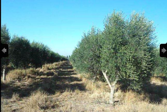 Venta de olivar de secano en málaga