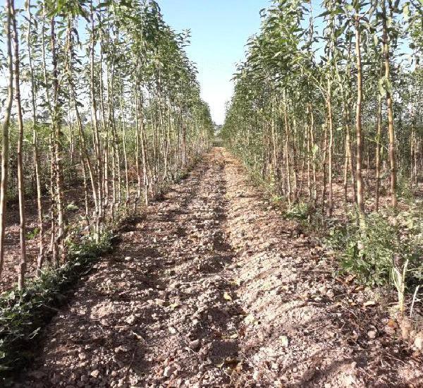 Venta de plantas de almendros y pistachos en murcia