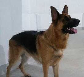 Reserva tu cachorro/a de pastor alemán con pedigree