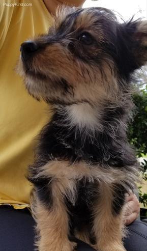 Terrier australiano probado solo para stud