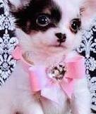 Amigo precioso chihuahua mini