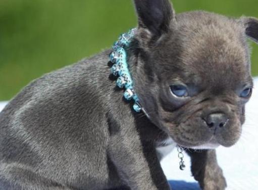 Cachorros bulldog disponibles