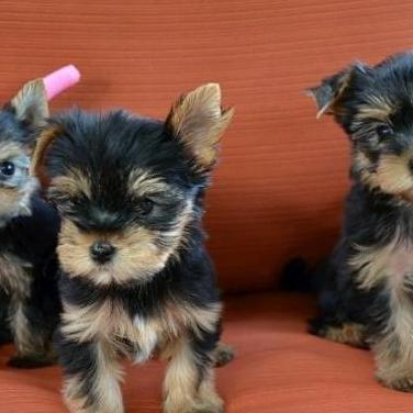 Cachorros yorkie disponibles