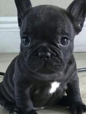 Cachorros de bulldog francés