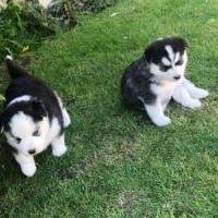 Cachorros de husky siberiano de raza pura registra