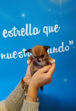 Chihuahua super miniatura