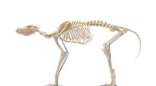 Esqueleto de perro mediano-grande