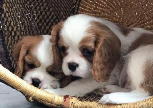 Espectaculares cachorros pura raza de cavalier