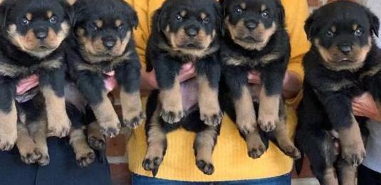 Excelentes cachorros de raza rottweiler