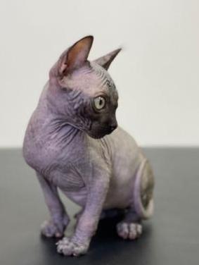 Gatos sphynx