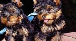 Lindo cachorro de yorshire terrier precioso con pa