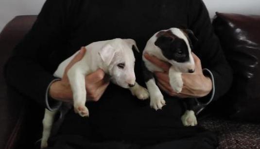 Regalo bull terrier adopción bull terrier