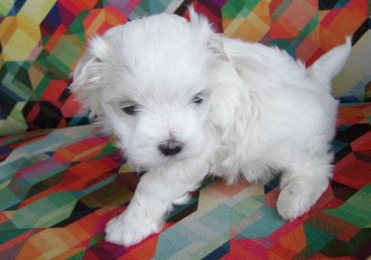 Cachorros bichon maltés de raza pura