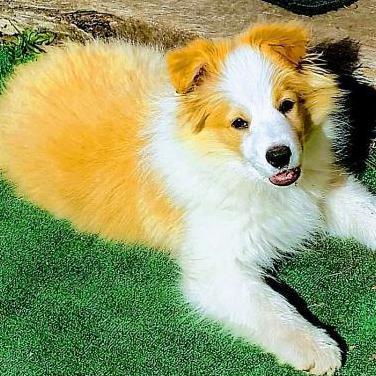 Cachorros border collie pedigree loe