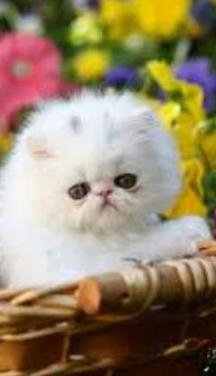 Gatitos persas blanco algodon y blanco smoked