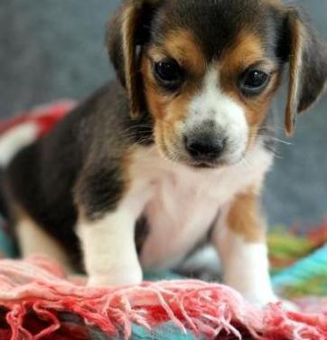 Beagle para adopcion