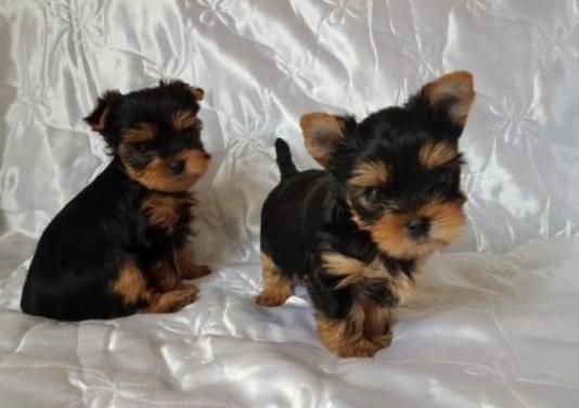 Cachorritos de yorkshire