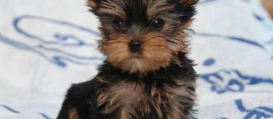 Cachorritos de yorkshire preciosos