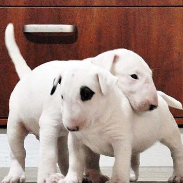 Cachorros (Bull Terrier) Regalo !!