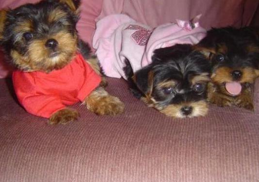 Cachorros (yorkshire terrier) regalo !!