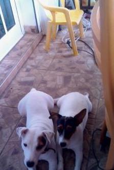 Camada cachorros jack russell pura raza watsup