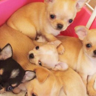 Chihuahua cachorros.