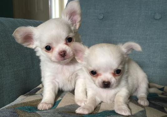 Chihuahua cachorros criados en casa