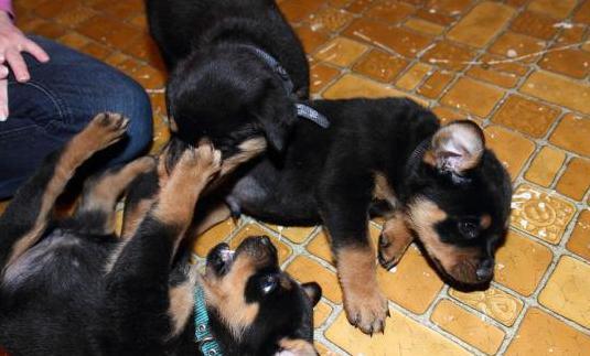 Disponemos cachorros de rottweiler machos y hembra