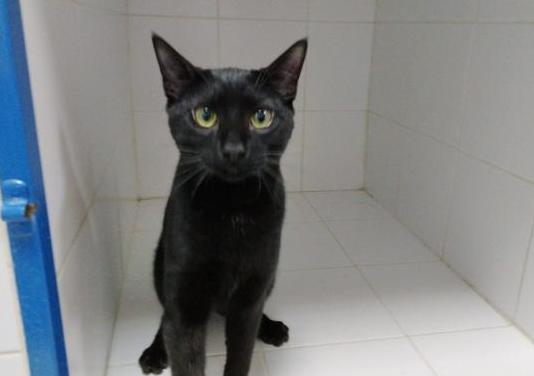 Franklin gatito de 4 meses en adopción
