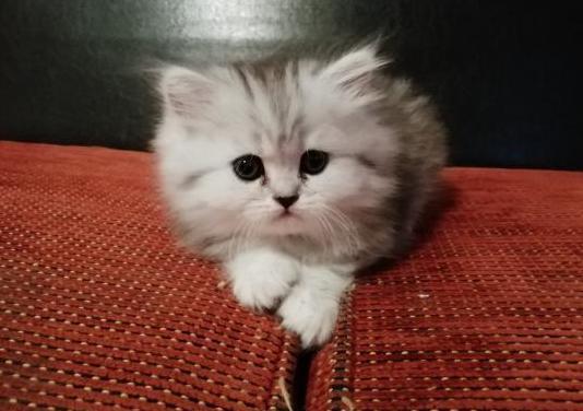 Gatitos chinchilla persas