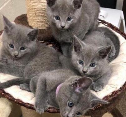 Gatitos de azul ruso pura raza