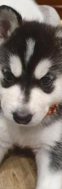 Husky siberiano con loe