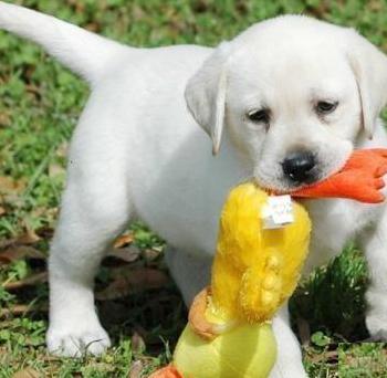Labrador macho y hembra cachorros casa nueva