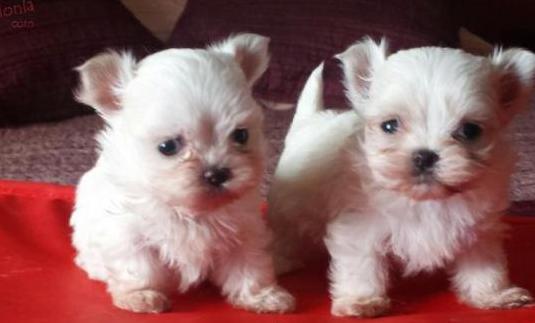 Preciosos cachorritos de bichon maltes