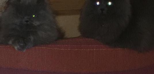 Proxima camada gato exótico persa/ragdoll