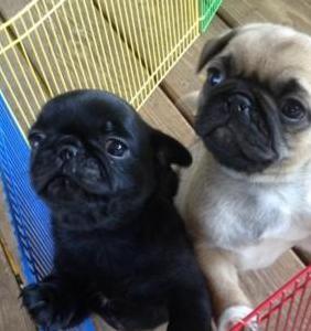 Pura raza cachorros pug para adopción