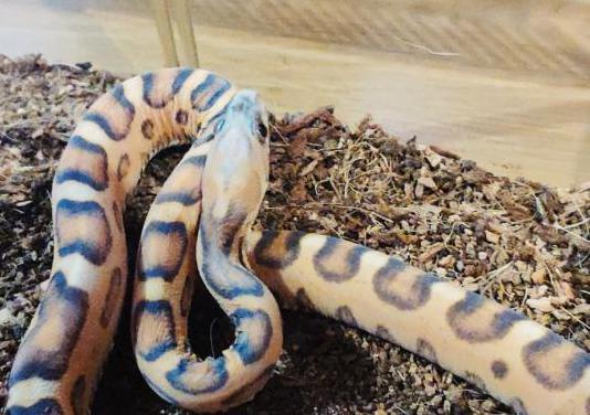 Serpiente scarlett