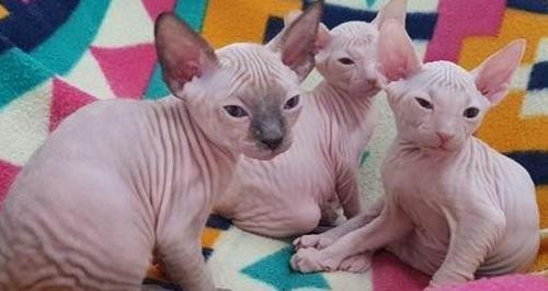 Súper gatitos sphynx disponables reg