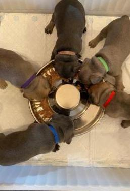 Bulldog francés asequible