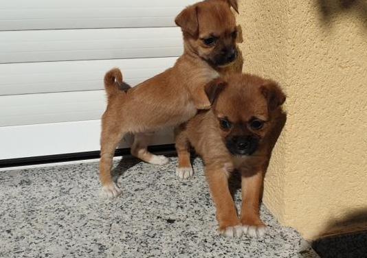 Cachorritos cruce chihuahua