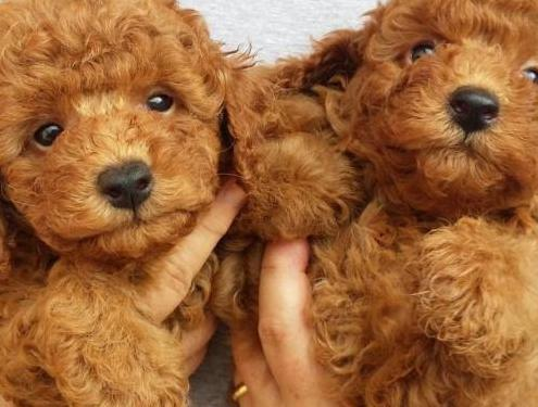 Cachorros barboncicni
