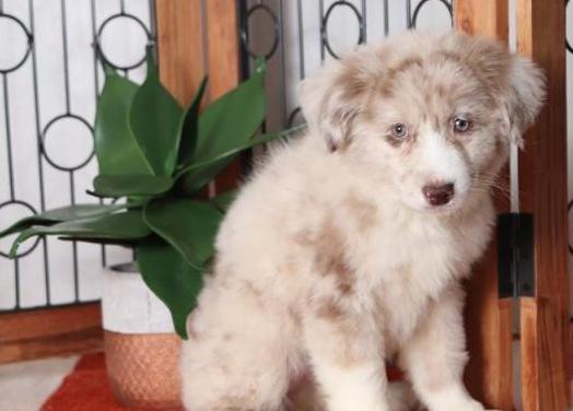 Cachorros de pastor australiano en miniatura