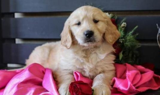 Disponibles dulces cachorros de golden retriever