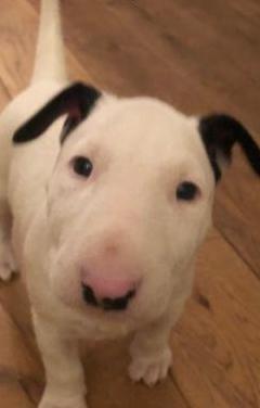 Super cachorros de bull terrier inglés