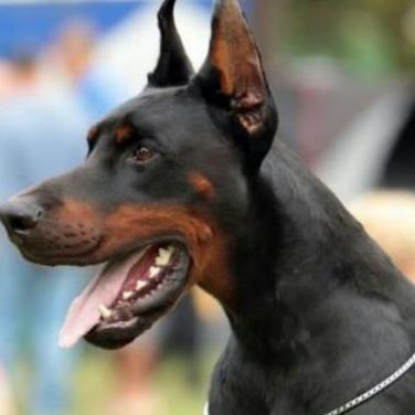 Ultima cachorra de dóberman 400 para san vale...