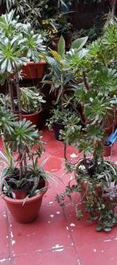 2 plantas grande,para decoracion