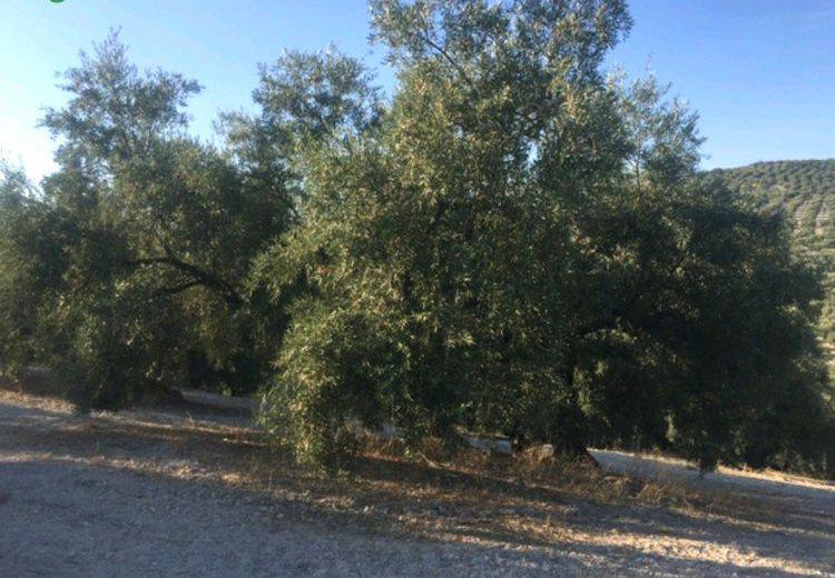 Venta de Finca con olivos tradicionales de regadío en