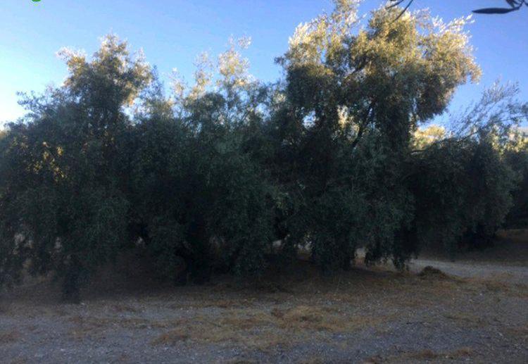 Venta de Finca de olivos con luz y agua de contador en