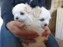 Tenga a la venta unos preciosos cachorros maltés macho
