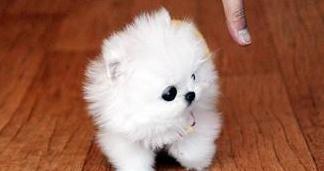 Bichon maltés mini toy espectaculares